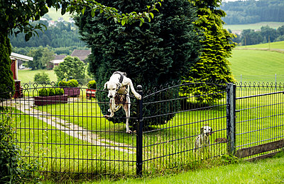 Dog climbing over fence - p300m1156562 by realitybites