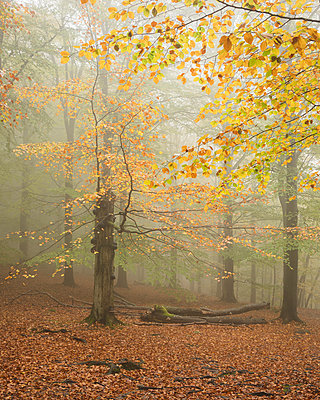 Misty forest - p352m2120354 by Gustaf Emanuelsson