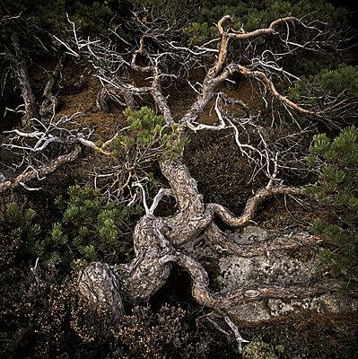 A dwarfed pine tree along a mountain - p575m1075135f by Jan Tove