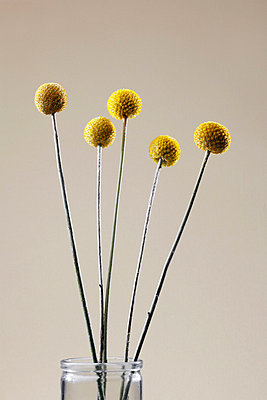 Yellow ball-shaped flowers - p5140498f by Clover photography