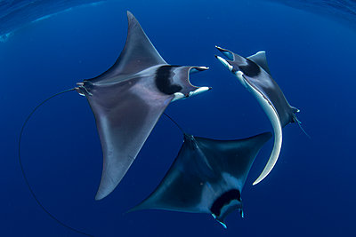 Spinetail devil rays (Mobula mobular) engaged in sexual courtship in Honda Bay, Palawan, The Philippines, Southeast Asia - p871m2122922 by Duncan Murrell