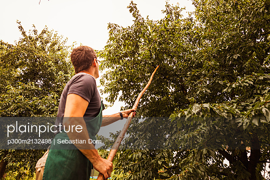 Man shaking tree during cherry harvest in orchard - p300m2132498 by Sebastian Dorn