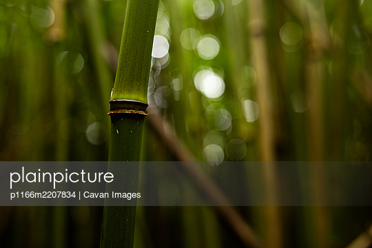 Bamboo Stem in Maui Bamboo Forest - p1166m2207834 by Cavan Images