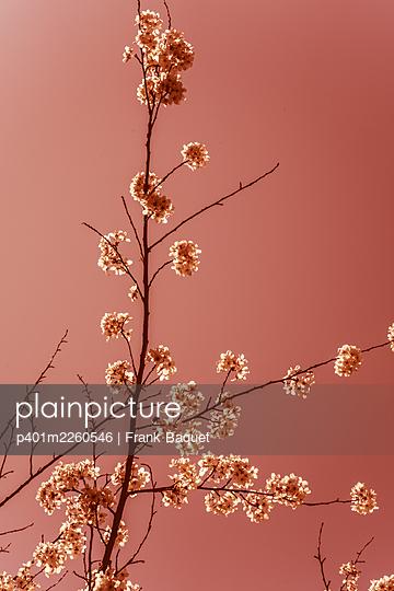 Cherry blossom - p401m2260546 by Frank Baquet