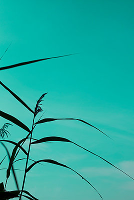 Silouette of reeds against  sky - p1228m1465552 by Benjamin Harte