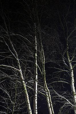 Birch - p403m859061 by Helge Sauber