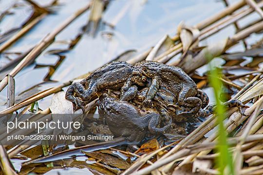 Erdkröten bufo bufo bei der Paarung in den Donauauen - p1463m2228297 von Wolfgang Simlinger