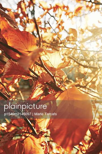 Herbstlaub - p1540m2145097 von Marie Tercafs