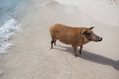 Schwein steht im Meer - p045m1589607 von Jasmin Sander