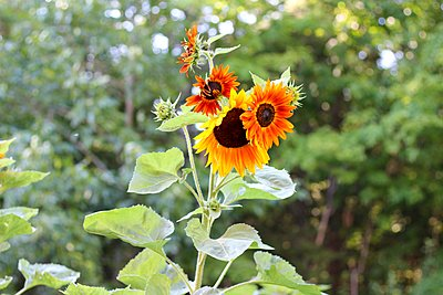 orange sunflowers - p1166m2094928 by Cavan Images