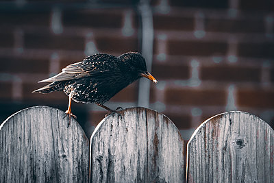 Blackbird on wooden fence - p1681m2283417 by Juan Alfonso Solis