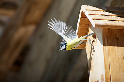 Blue tit (Cyanistes caeruleus) flying away from wooden birdhouse - p624m1101495f by Odilon Dimier