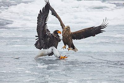 Steller's Sea Eagle, Haliaeetus pelagicus, and White-Tailed Eagle, Haliaeetus albicilla, fighting on frozen bay in winter. - p1100m1520163 by Mint Images