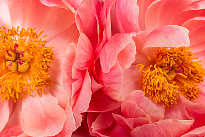 Close up of peonies - p1427m2123439 by Jamie Grill