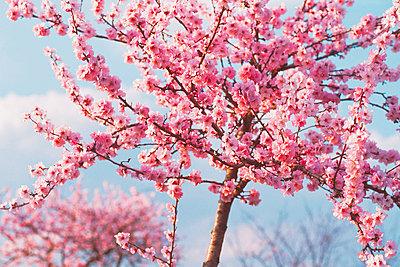 Cherry blossom - p2683833 by Rudi Sebastian