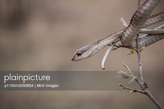 A Boomslang, Dispholidus typus, watches out from a tree - p1100m2292854 by Mint Images