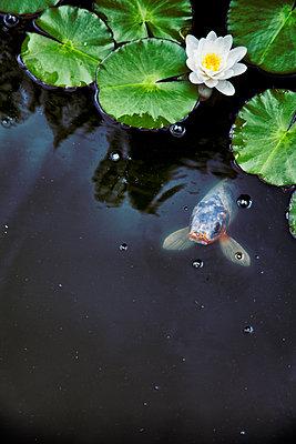 Teich mit Koi und Seerose - p1248m1185547 von miguel sobreira
