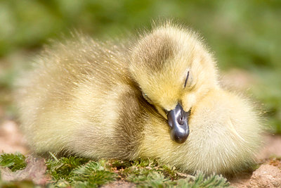 Duckling - p4426840f by Design Pics