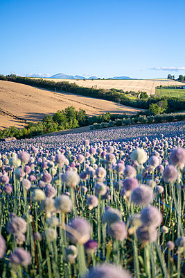 A field full of garlic flowers near Urbisaglia, Macerata district, Marche, Italy - p651m2271109 by Stefano Termanini