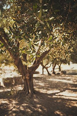 Olivenbaum - p1345m1194833 von Alexandra Kern