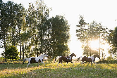 Brown and white horses running in idyllic, rural field - p301m2018200 by Julia Christe
