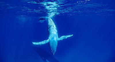 Antarctic humpback whales in ocean, Kingdom of Tonga, Ha'apai Island group, Tonga - p343m1475975 by Ted Wood