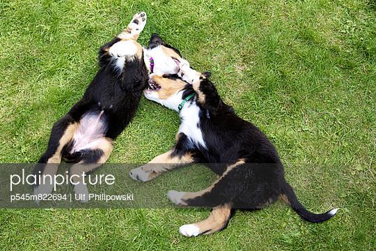 Bernese mountain dogs - p545m822694 by Ulf Philipowski