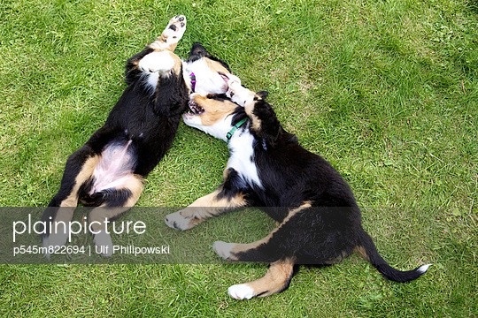 Berner Sennenhunde - p545m822694 von Ulf Philipowski
