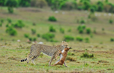 Cheetah with antilope - p533m982483 by Böhm Monika