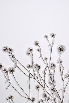 Covered Thistles - p876m777725 by ganguin