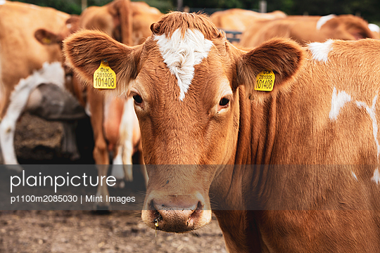 Herd of piebald red and white Guernsey cows on a pasture. - p1100m2085030 by Mint Images