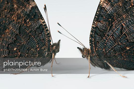 European peacock,  Inachis io - p1437m2052908 by Achim Bunz