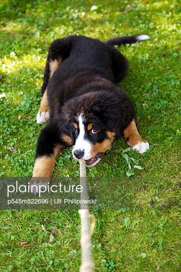 Bernese mountain dog - p545m822696 by Ulf Philipowski