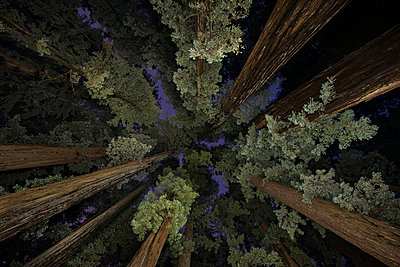 Low angle view of trees at Jedediah Smith Redwoods State Park - p1166m1489258 by Cavan Images