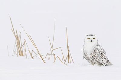 Snowy Owl  in snow, Canada - p884m1145435 by Adri de Visser/ NIS