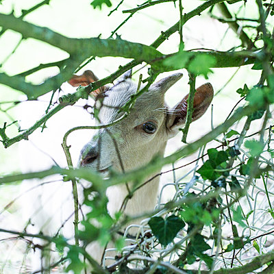 Goat in garden  - p940m1169839 by Bénédite Topuz