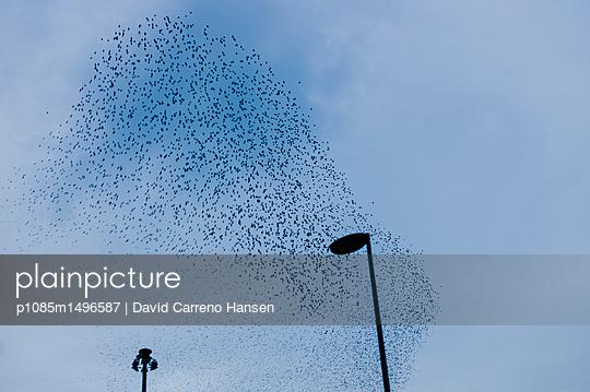 Flock of birds in the sky - p1085m1496587 by David Carreno Hansen