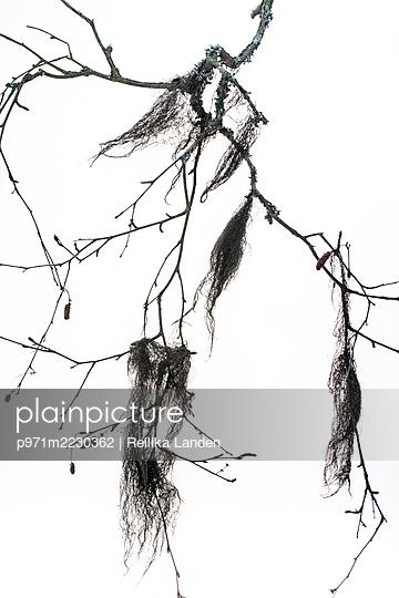 Moss on branch - p971m2230362 by Reilika Landen