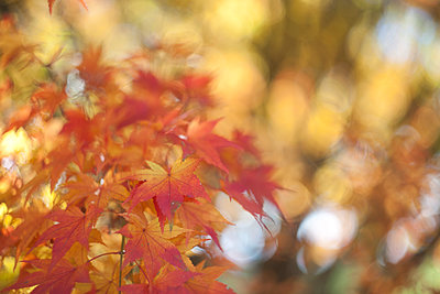 Maple Leaves in the fall with bokeh - p1166m2095480 by Cavan Images