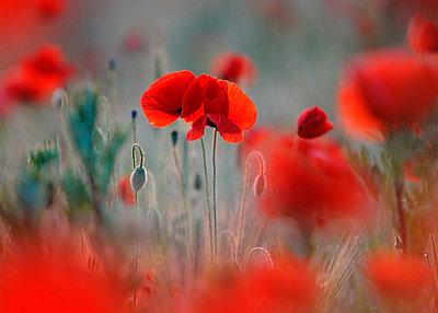 Field of corn poppies (Papaver rhoeas) - p300m2197573 by Brigitte Stehle