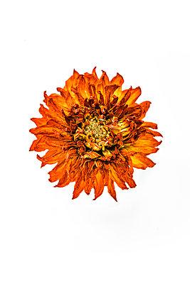 Vertrocknete orangene Dahlie - p550m1138397 von Thomas Franz