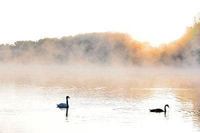 Pair of swans on a lake - p1016m2211978 by Jochen Knobloch