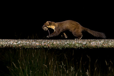Side view of pine marten walking on log against black background - p300m2144460 by Mark Johnson