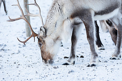 Close up of a reindeer, Abisko, Kiruna Municipality, Norrbotten County, Lapland, Sweden, Scandinavia, Europe - p871m1499883 by Roberto Moiola