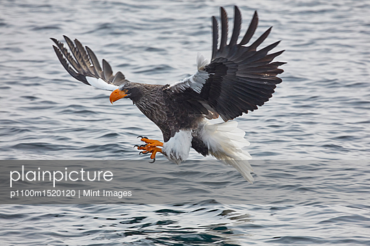 Steller's Sea Eagle, Haliaeetus pelagicus, hunting above water in winter. - p1100m1520120 by Mint Images
