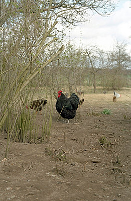 Chicken farm - p8280011 by souslesarbres