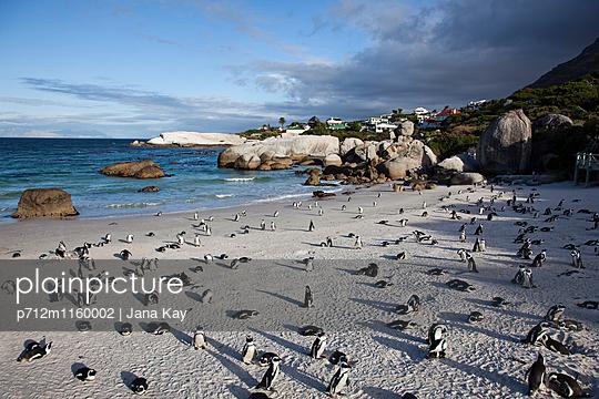 Pinguine in Boulders Beach - p712m1160002 von Jana Kay