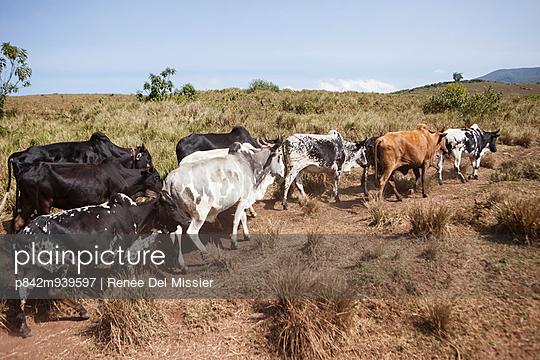 Cows - p842m939597 by Renée Del Missier