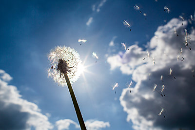 A single dandelion head with seeds being bloan away on a gust of wind set aginst a bright sunny sky with light cloud. - p1057m1573119 by Stephen Shepherd