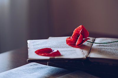 Poppy on the book - p1623m2209917 by Donatella Loi